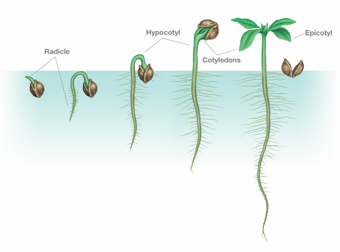 Seed growth drawing